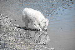 """Chase Picks Up On A Scent In The Water! • <a style=""""font-size:0.8em;"""" href=""""http://www.flickr.com/photos/96196263@N07/13412769343/"""" target=""""_blank"""">View on Flickr</a>"""
