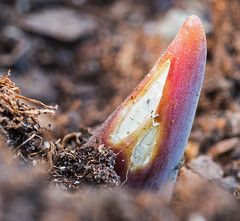 An Arriving Dutch Friend (Lars rstavik) Tags: dutch spring friend tulip sprout sprouting flickrisslow
