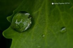 Leaf D7K_5534IN (kathypaynter.com) Tags: macro leaf waterdrop waterdrops waterdropmacro macrowaterdrop