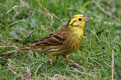 Yellowhammer (Hilary Chambers) Tags: