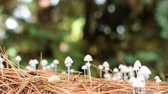 (Pabloepb) Tags: naturaleza trekking lenga flora concepcion bosque biobio cerros salidas caminata aire senderismo libre hongo vegetacion senderos recreacion hualpen