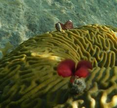 Culebra, Puerto Rico (tquist24) Tags: fish beach water coral puerto island puertorico tube rico snorkeling culebra tamarindo tropical worm february 2013 tamarindobeach nikoncoolpixaw100