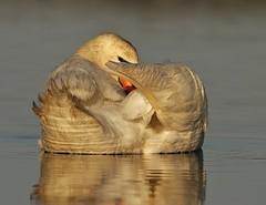 IMG_6849 (2x25mpg) Tags: swan preening