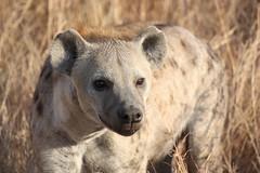 Hyena Close-up