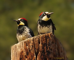Waiting for the Cable Guy (Ethan.Winning) Tags: california ranch old birds america creek open space north walnut gap ethan trail acorn woodpeckers northern avian winning borges ginder dailynaturetnc13 dailynaturetnc14