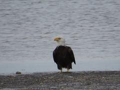 Bald Eagle - Florida by SpeedyJR (SpeedyJR) Tags: nature birds florida wildlife baldeagle eagles dunedincauseway dunedinflorida dunedinfl speedyjr 2015janicerodriguez