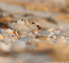 Catching bugs (v4vodka) Tags: nature animal wildlife chick birdwatching plover pipingplover shorebird charadriusmelodus pipingploverchick birdbirding sieweczkablada