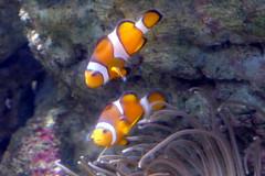 Poissons-clowns (Mhln) Tags: paris aquarium requin poisson trocadero poissons meduse 2015 cineaqua