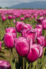 Tulip Fest (4 of 26) (evan.chakroff) Tags: flowers festival washington spring unitedstates tulips tulip april mountvernon tulipfestival mtvernon roozengaarde 2016