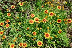 Indian Blanket, Texas, Padre Island National Seashore (EC Leatherberry) Tags: texas wildflower indianblanket gaillardiapulchella padreislandnationalseashore klebergcounty