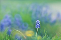 Grape Hyacinth (lfeng1014) Tags: macro closeup dof bokeh depthoffield macrophotography grapehyacinth lifeng bluegrapehyacinth canon5dmarkiii 70200mmf28lisii bluearmeniacum