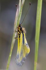 Ascalaphe soufr - Libelloides coccajus (patricia.hoedts) Tags: france canon aude canon6d libelloidescoccajus ascalaphesoufr canonef10028macroisusm villasavay
