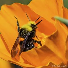 Bumblebee on a California Poppy (Bob Gunderson) Tags: sanfrancisco california northerncalifornia wildlife bees insects bumblebee fortmason