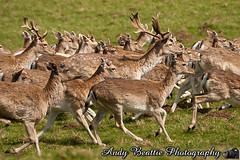2016-05-04-048 (Andy Beattie Photography) Tags: uk england nature mammal photography europe photographer wildlife yorkshire deer fallowdeer halifax ungulate northyorkshire westyorkshire ripon eventoed pecora damadama hoofed andybeattie andybeattiephotography