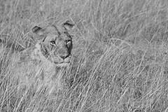 Lioness taking it easy in mid-da sun ('SandFlash) Tags: africa travel blackandwhite animal fur eyes kenya outdoor whiskers safari camouflage hunter savannah predator lioness masai grasslands animalkingdom carnivore wildlifesafari masaimara riftvalley 2015