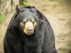 Hello There. I am a Bear (ahockley) Tags: bear nature animal alaska blackbear girdwood alaskawildlifeconservationcenter