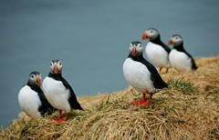 you're a Club Member we suppose?! (lunaryuna) Tags: sea birds iceland maritime puffin puffins lundi colony eastfjords fratercula fraterculaarctica papageientaucher