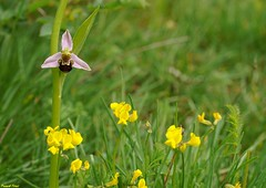 L Ophrys Abeille (ophrys apifera) Zone sche d'Echay (francky25) Tags: orchids l zone franchecomt abeille flore orchide ophrys sauvage doubs apifera sche dechay