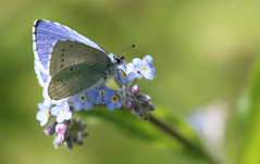 forget me forget me not holly blue (andy_porter69) Tags: blue macro me butterfly holly knots forget hollyblue forgetmeknots
