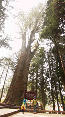 DSC01695 (YUKI Hsu / nlyuki) Tags: chiayi   sacredtree   shenmu alishannationalscenicarea 2y2m 6y3m