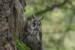 Long Eared Owl (Dave Brotherton Wildlife Photography) Tags: bird nature woodland countryside nikon bokeh outdoor wildlife ngc owl tamron raptors birdofprey nationalgeographic outabout d7100 tamron150600 davebrothertonphotography