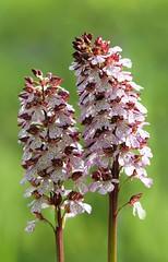 20160516-035F (m-klueber.de) Tags: flora orchidaceae orchidee rhn orchis 2016 purpur purpurea knabenkraut europische purpurknabenkraut rhnflora orcpurp mitteleuropische mkbildkatalog 20160516 20160516035f