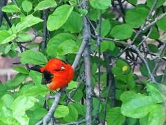 Scarlet Tanager DSC02857 (BayonneBirder) Tags: red black bird scarlet tanager