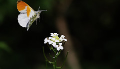 Got a tip for you (Ollie_57.. on/off) Tags: uk england plant flower macro nature fauna canon butterfly insect spring wings flora dof bokeh wildlife ngc may devon npc 7d bloom wildflower 2016 orangetip anthochariscardamines bishopsteignton tamronsp90mm ollie57