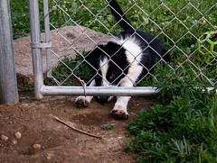 Impatiently waiting (Crawford Canines) Tags: summer dog animal puppy puppies play sprinkler tug bordercollie summerfun fetch holleeroller
