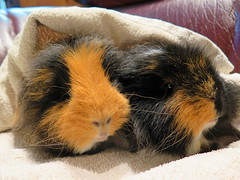 fluffy Guinea pigs (katrinchen59) Tags: pets brown black animals meerschweinchen guinea rocky fluffy pigs braun zwart huisdier schwarz rambo haustiere bruin cavia