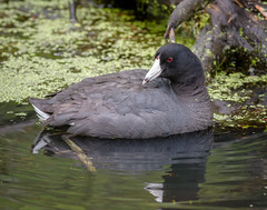 American Coot (tresed47) Tags: birds us ducks content places delaware folder coot takenby 2016 bombayhook peterscamera petersphotos canon7d 201605may 20160502bombayhookbirds