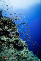 Reef scene (Justin Beevor) Tags: coral underwater redsea egypt wideangle fisheye reef snapper shoal anthias rasmohammed magicfilter tornadomarinefleet sharkyolanda nauticam sonyvclecf1 sonya6300 naa6300
