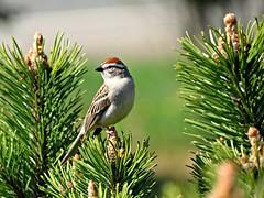 Chipping Sparrow (clickclique) Tags: brown green bird pine spring bokeh sparrow chippingsparrow mugopine bej