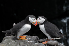 A word in your ear (Finding Chris) Tags: northumberland farneislands innerfarne puffins orange two