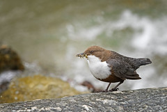 White-throated Dipper: Cinclus cinclus (Explored) (renzodionigi) Tags: birds aves naturephotography passeriformes cinclus oscines cinclidae passerida muscicapoides