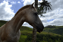 Tornado (renata.mandracio) Tags: brazil brasil santacatarina sc sul south horse cavalo landscape animals animal animais cavalos horses pet farm countryside country tree trees arvore arvores nature natureza nikon nikond3100 d3100 sky cu nvens nvem cloud arvoredo chapec friend beauty