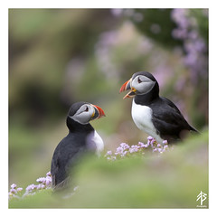 The Conversation...    [Explored June 10th 2016] (fearghal breathnach) Tags: puffin puffins seabirds birds salteeislands wexford ireland nature squareformat square border funny cutebirds bokeh dof closeup pastel