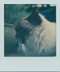 Monty in profile (matthewjoldfield) Tags: portrait colour polaroid friend fluffy ears beta depthoffield afterwork whiskers 600 visitor slr680 sideon ignoringme impossibleproject