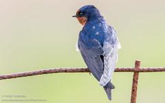Welcome Swallow (Yasir Subhan) Tags: swallow australianbird welcomeswallow wtp hirundoneoxena westerntreatmentplant canon7dmarkii sigma150600mmf563dgoshsm|s