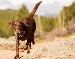 A retriever (KB RRR) Tags: dog colorado rockymountains frontrange chocolatelabrador shyla