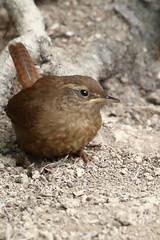 Wren (Wendy Parker) Tags: bird canon outdoor 7d wren troglodytes