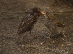 Feeding time in the Wind & Rain11 (Gareth Lovering Photography 3,000,594 views.) Tags: birds garden feeding wildlife feeder starling olympus sparrow 75300mm lovering em1 garethloveringphotography