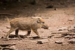 YOung pig (Cloudtail the Snow Leopard) Tags: wild animal mammal pig boar schwein sus tier pforzheim wildschwein wildpark ferkel sugetier scrofa