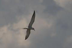 IMG_5760 (elkost) Tags: καλοχώρι kalochori kalochórion birds ποταμόγλάρονο sternahirundo