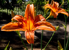 Tiger Tiger burning bright (Mildred Alpern) Tags: light orange plants flower macro outdoors shadows stamens buds tigerlily