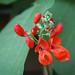 Blüten Feuerbohne (Phaseolus coccineus)