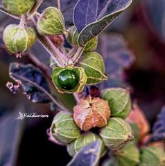 Green Pearl (haidarism (Ahmed Alhaidari)) Tags: green pearl fruit bud plant bokeh outdoor nature depthoffield sonya65 macro macrophotography leaf ngc