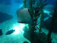 DSCN0338 (pablo.modo) Tags: portugal lisboa peces animales raya acuario