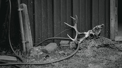 Untitled (mwolfephoto) Tags: blackandwhite bw mississippi antlers carrion hollysprings deerskull