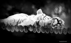 White Tiger Paw (purplepheonixx) Tags: animals zoo paw wildlife tiger whitetiger wildlifepark westmidlandssafaripark